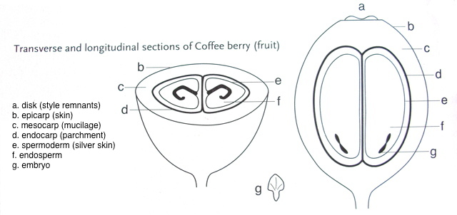 Anatomy of coffee beans.