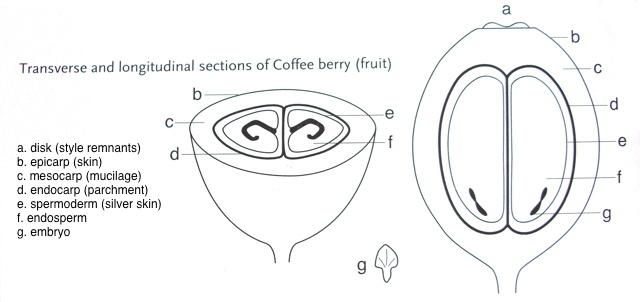Anatomy of coffee beans.