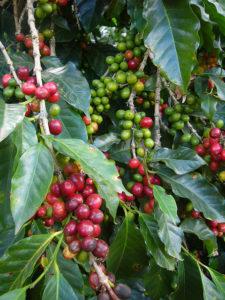 Coffee trees.