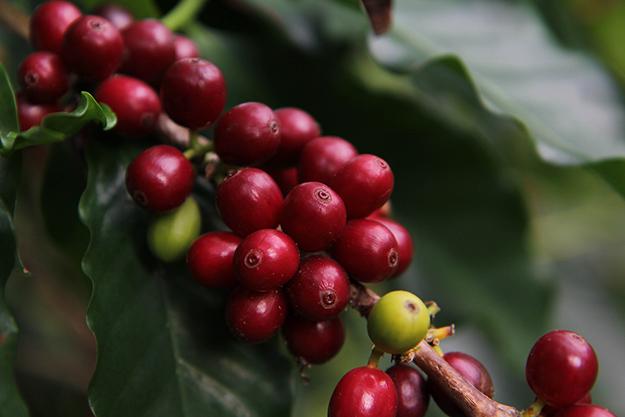 Kona Coffee Beans.